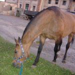 licytacja koni