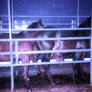 Konie do Japonii