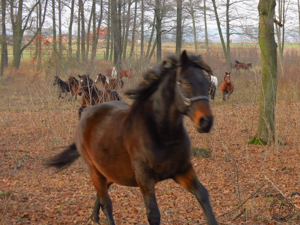 konie przepęd