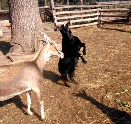 koza udaje konia i staje dęba