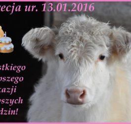 Pierwsze urodziny krówki Lukrecji