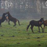 Walka koni