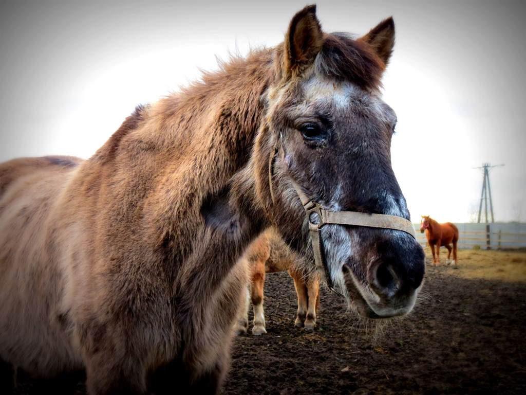 koń Bułek