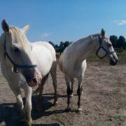 miłość koni