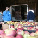 Rozładunek jabłek