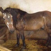 koń Maciek