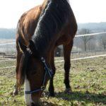 koń Apacz