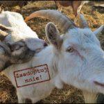 adopcja kozy