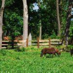 Kucyki na trawie