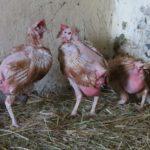 Uratowane kury