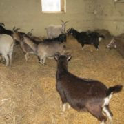 manewry koza