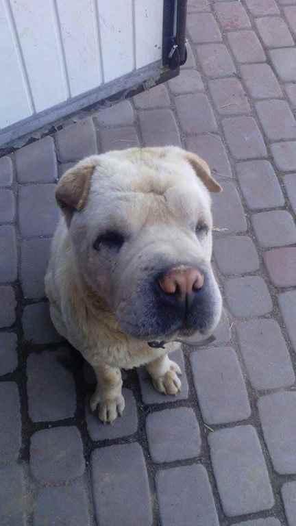 poszukiwany pies