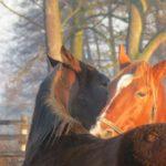 Poranne konie
