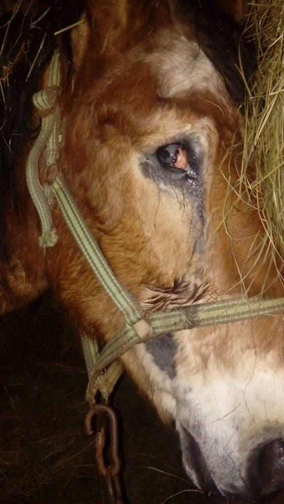 koń Kraksa