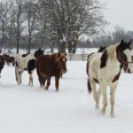 Konie zimą