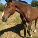 Koń Zulus