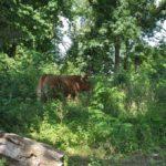Krowy w parku