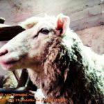 Pomoc dla owiec