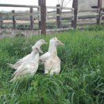 Strajk kaczek
