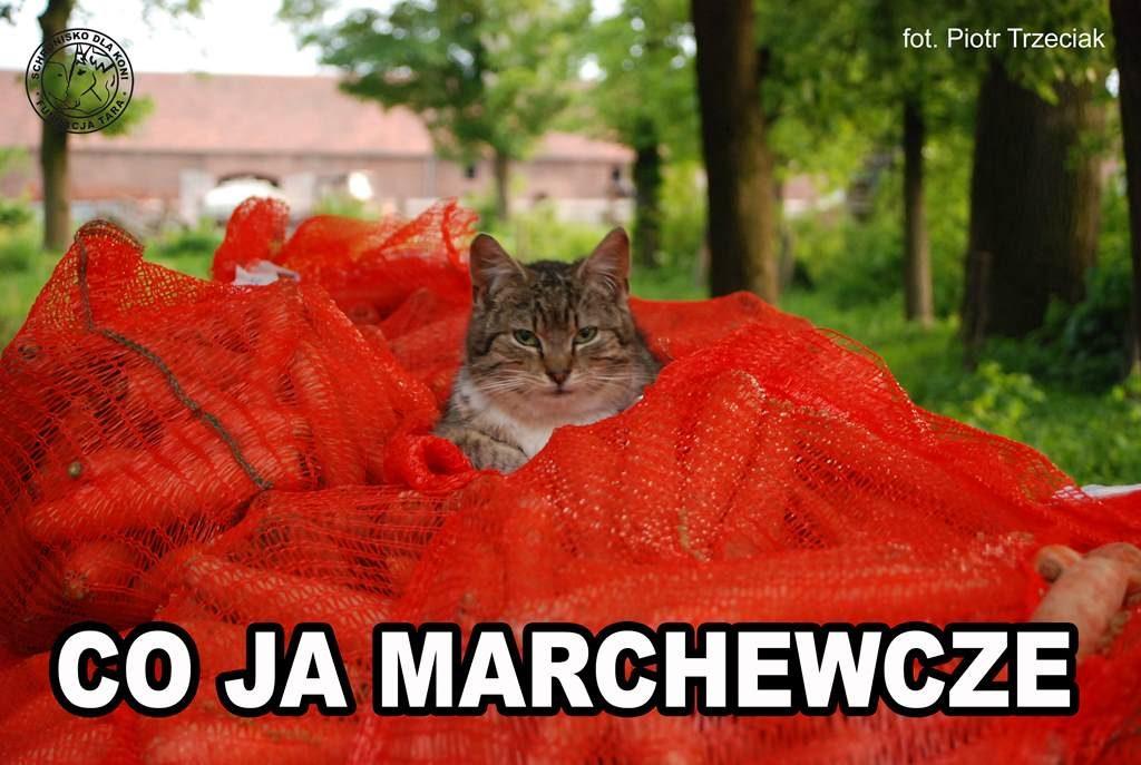 kot z marchewką