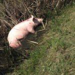 Świnka co z transportu wypadła