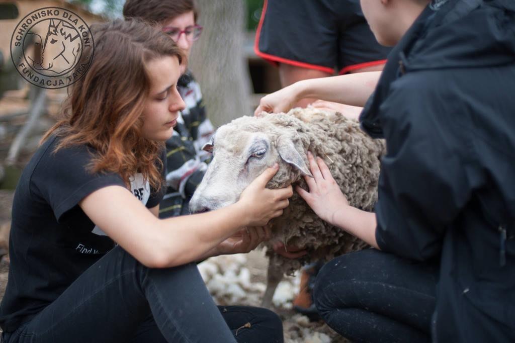 Fryzjer i owce