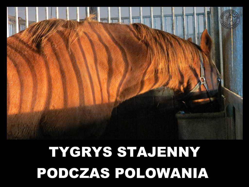 Tarowy tygrys