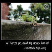 zielony konik