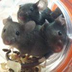 Myszy laboratoryjne