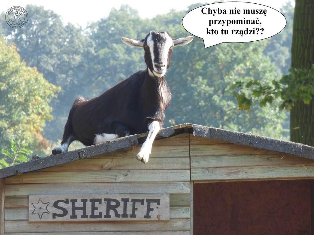 koza szeryf