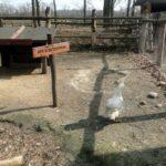 Przenosiny kaczek