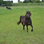 Hobbitowe konie