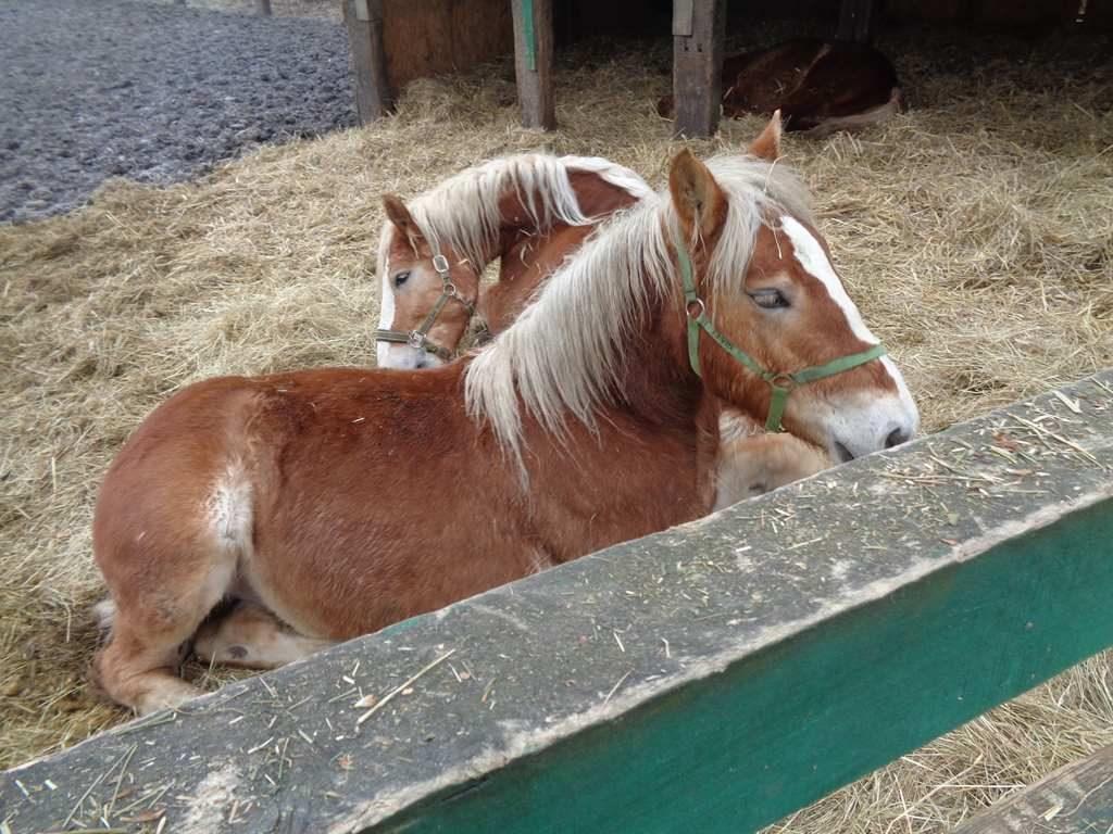 Leżące konie