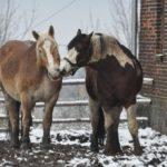 Romanse koni