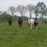 Konie na trawie