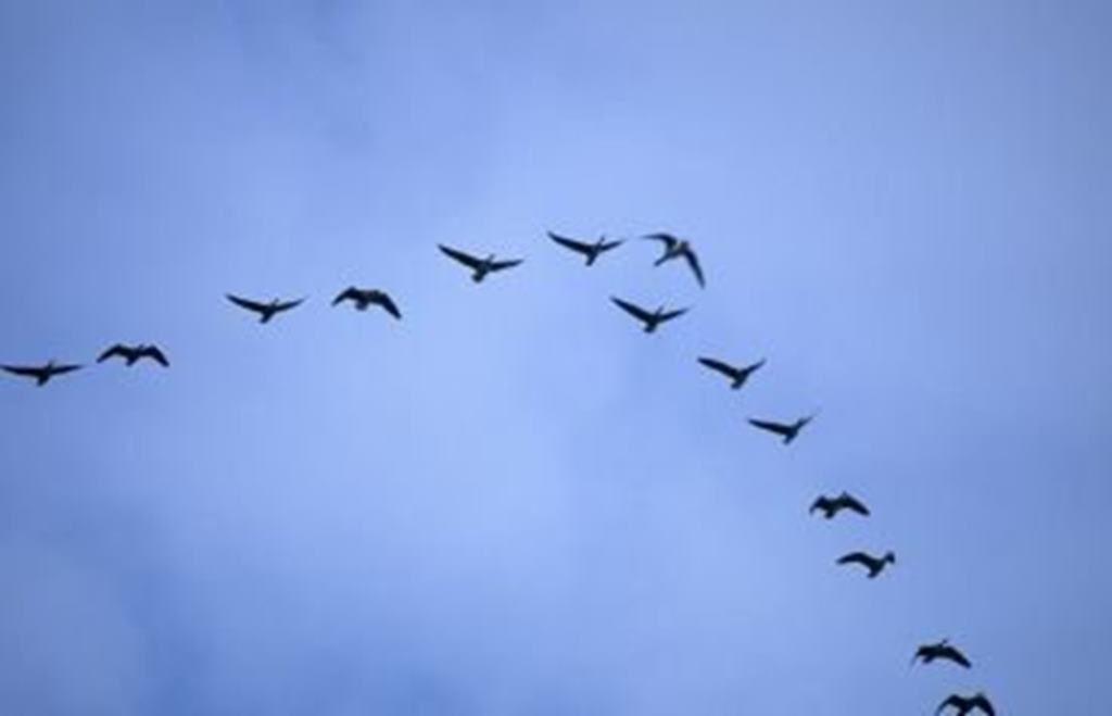 Klucz dzikich ptaków.