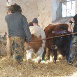 Przeprowadzanie krów