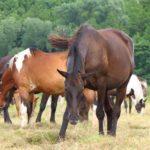 Wypas koni.