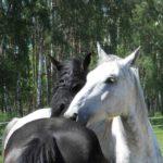 Konie na pastwiskach.