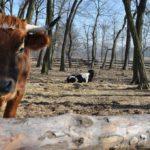 Krowy na padoku.