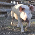 Uratowana świnka