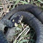 Wąż w Tarze.