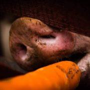 świnia jedzaca marchew
