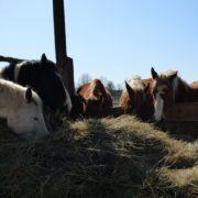 konie jedzące sianko